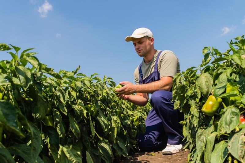 Farmer στους τομείς πιπεριών στοκ φωτογραφία