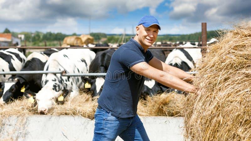 Farmer που λειτουργεί στο αγρόκτημα με τις γαλακτοκομικές αγελάδες στοκ εικόνα