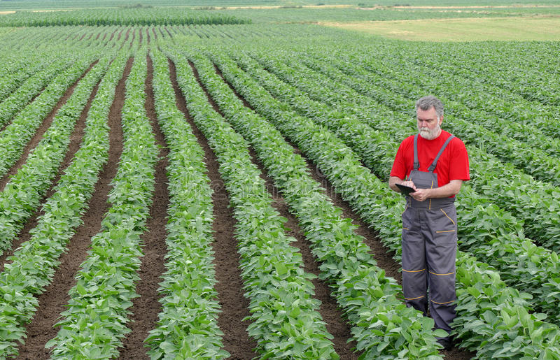 Farmer or agronomist in soy bean field with tablet. Farmer or agronomist examine soybean plant in field using tablet stock photos