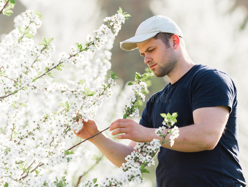 Farmer analyzes flower cherry orchard with blossoming trees in s. Young farmer analyzes flower cherry orchard with blossoming trees in spring royalty free stock photography