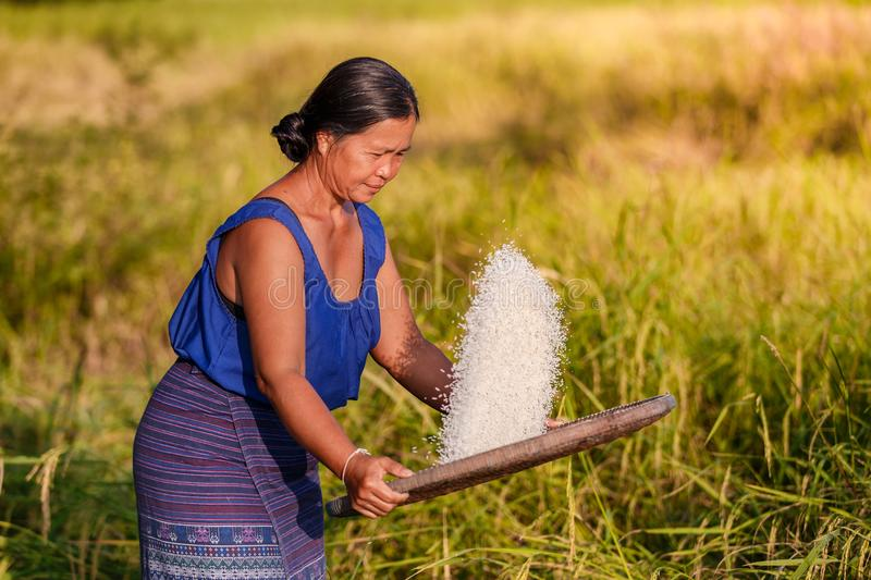 Farmer asian woman threshed rice to remove chaff. Sifts rice at the rice field at countrye in Thailand royalty free stock photography