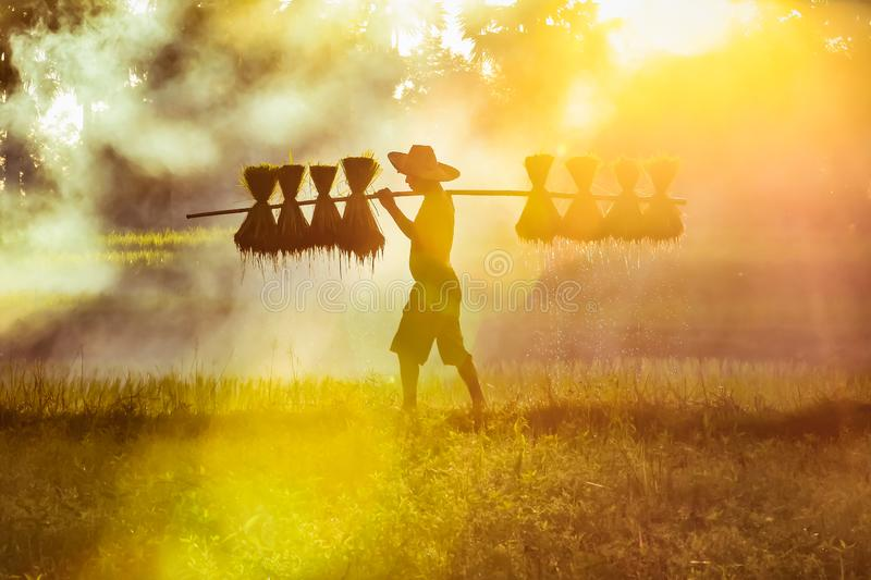 Farmer Bearing seedlings of rice to plant, Asian farmer Bearing rice seedlings on paddy field royalty free stock images