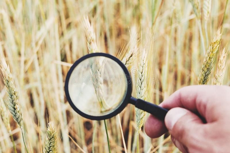 Farmer` or botanist`s hand with magnify glass tool closeup check examine inspect wheat spikelets of rye in agricultural. Farmer hand with magnify glass tool stock photos