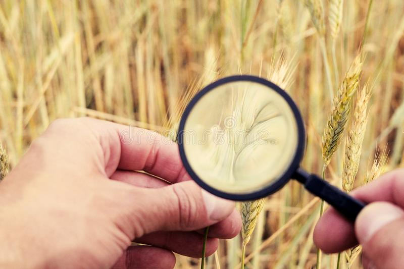 Farmer` or botanist`s hand with magnify glass tool closeup check examine inspect wheat spikelets of rye in agricultural. Farmer hand with magnify glass tool royalty free stock images