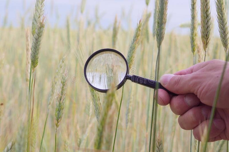 Farmer` or botanist`s hand with magnify glass tool closeup check examine inspect wheat spikelets of rye in agricultural. Farmer hand with magnify glass tool stock image