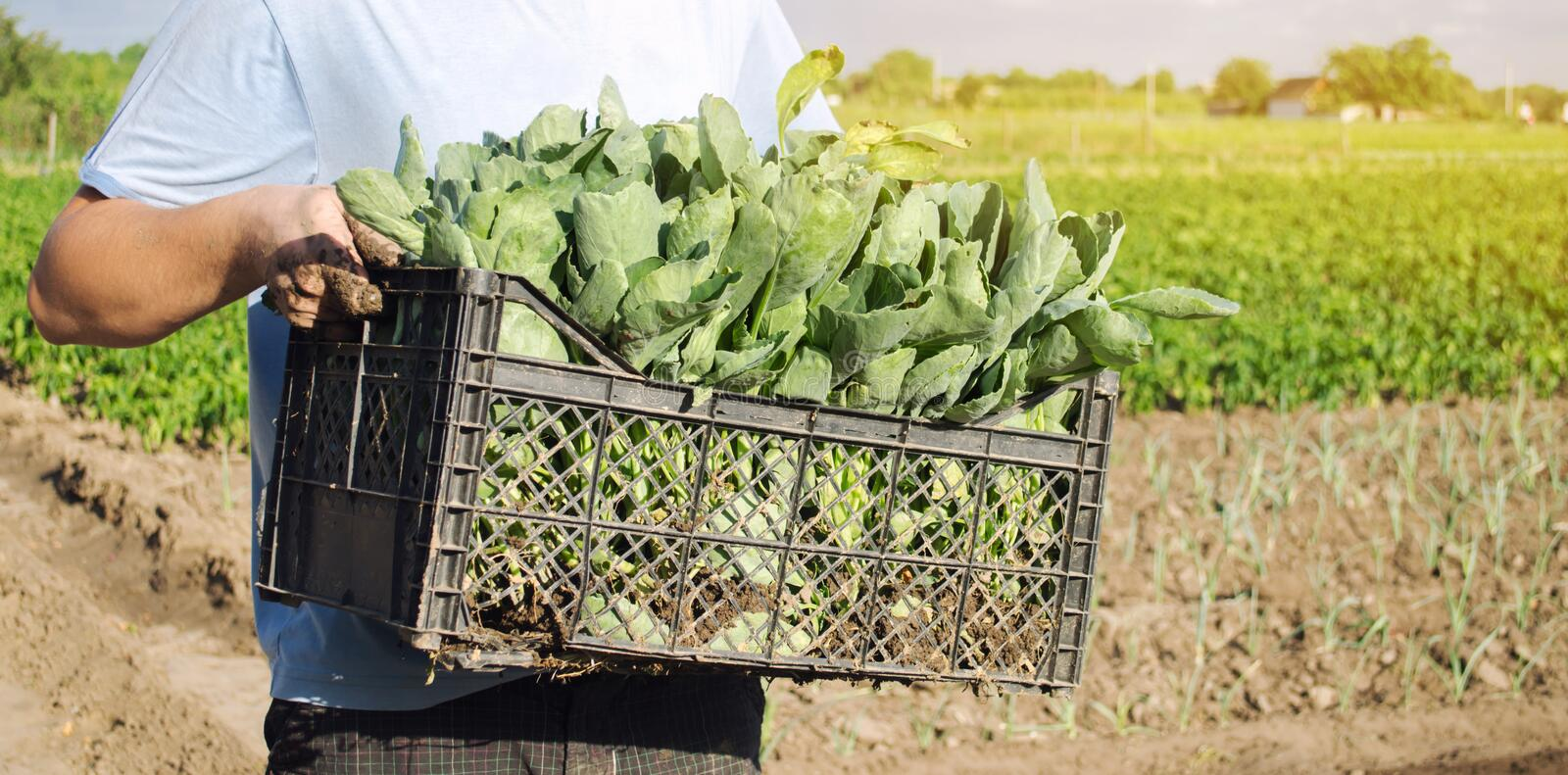 A farmer carry fresh cabbage seedlings in a box. Planting and growing organic vegetables. Agro-industry in third world countries,. Labor migrants. Family stock image