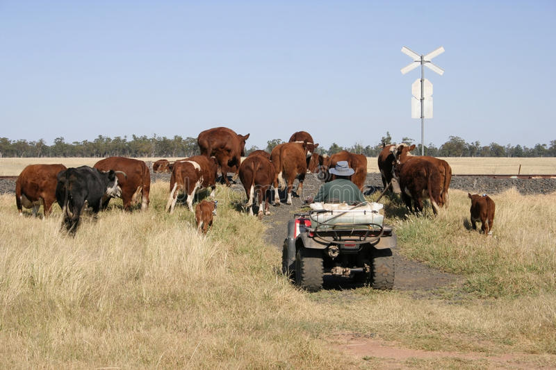 Farmer and cattle royalty free stock photos