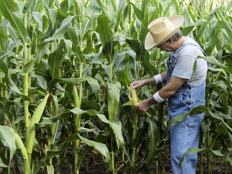 Farmer checking corn field. Farmer checking the cobs on a corn field royalty free stock photography