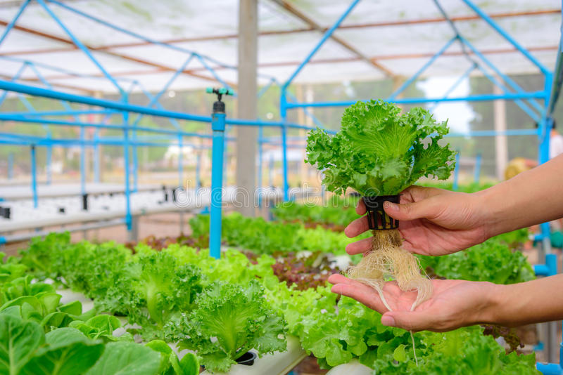 Farmer collect green hydroponic organic salad vegetable in farm, royalty free stock photos