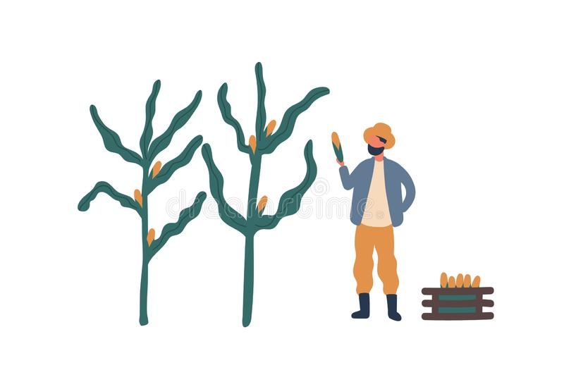 Farmer collecting corn flat vector illustration. Farm worker, rancher cartoon character. Seasonal crop harvest, natural vector illustration