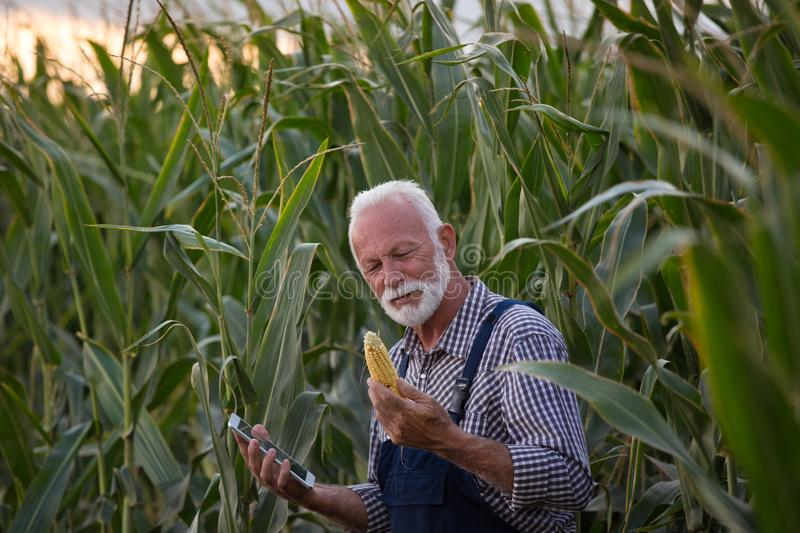 Farmer with corn cob and tablet stock image