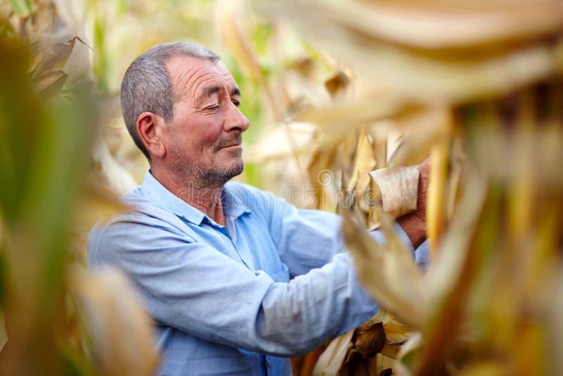 Farmer at corn harvest stock images