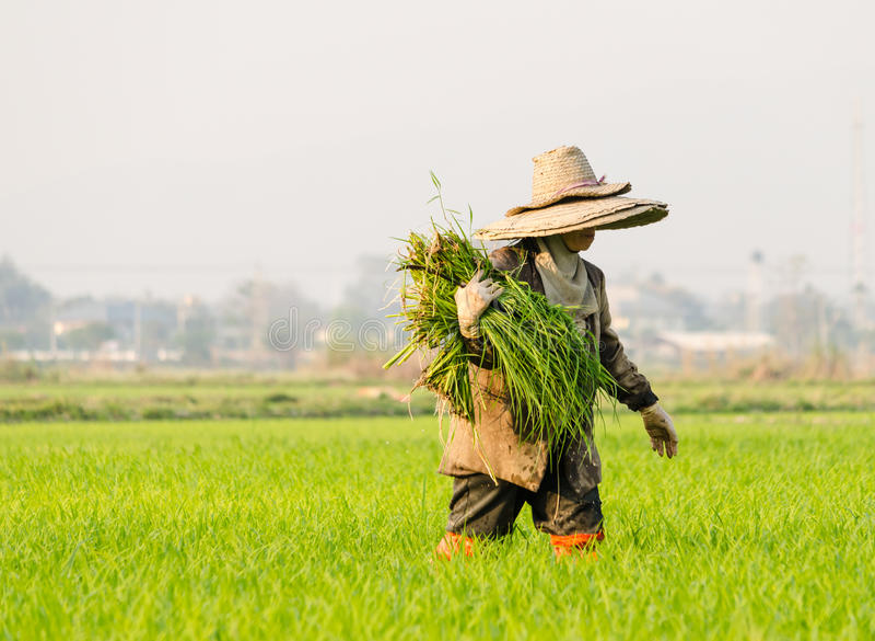 Farmer corp rice. Work on stock image