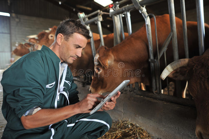 Farmer and cows stock images