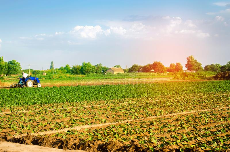 The farmer cultivates the field with a tractor. Agriculture, vegetables, organic agricultural products, agro-industry. farmlands. The farmer cultivates the royalty free stock photo