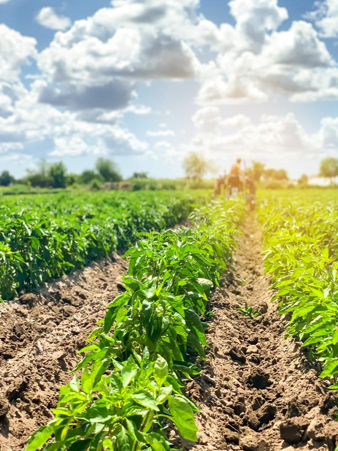 A farmer cultivates vegetable rows of peppers. Plowing field. Weed protection. Seasonal farm work. Agriculture crops. Farming,. Farmland. Organic vegetables stock photos
