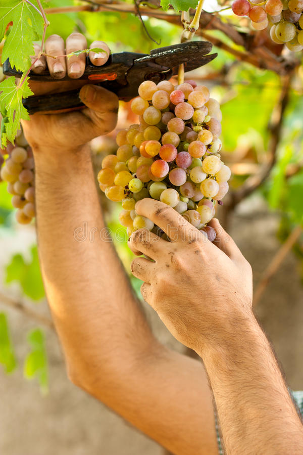 Download Farmer Cutting Grapes stock photo. Image of dirty, latino - 21360968