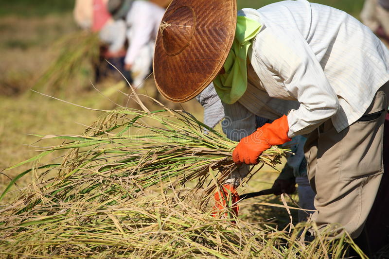 Farmer cutting rice in field, Thailand royalty free stock photography