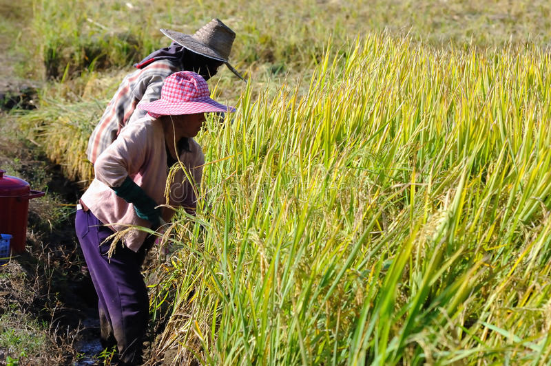 Farmer cutting rice in filed. royalty free stock photo