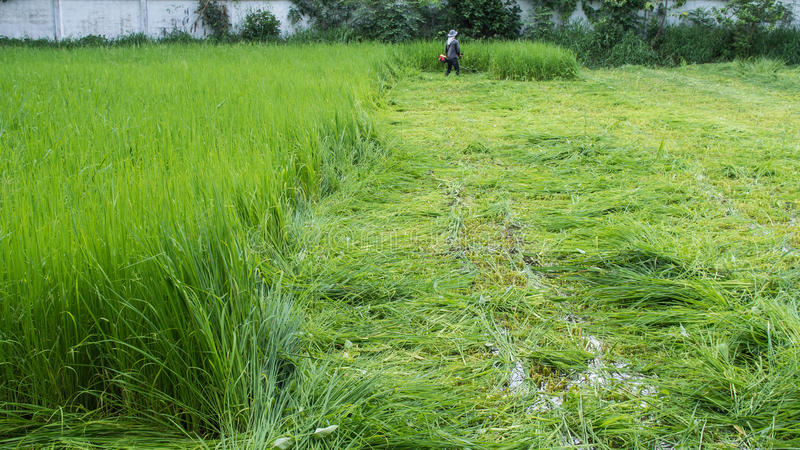 Farmer Cutting Rice stock image