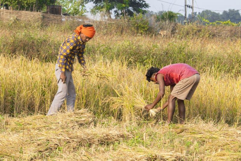 Farmer cutting rice. stock photos