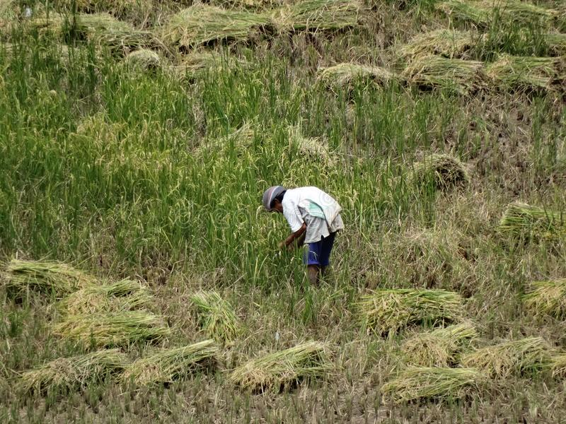 Farmer cutting rice, Sagada, Luzon, Philippines stock photo