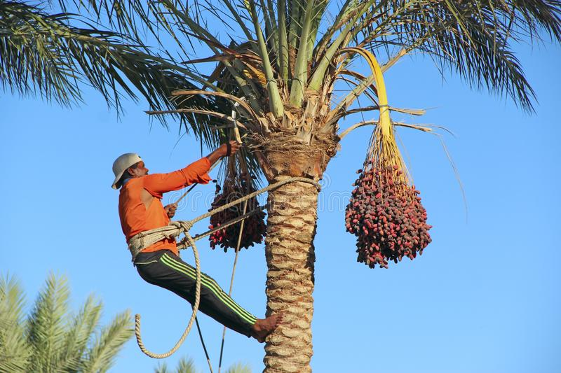 Farmer cutting ripe fruits from date farm. Man harvesting dates on palm trees royalty free stock photos