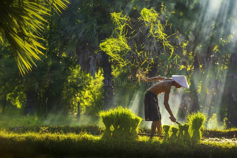 The farmer is cutting the top of the rice plant to make rice field. Lifestyle of Southeast Asian people walking through the rice royalty free stock images