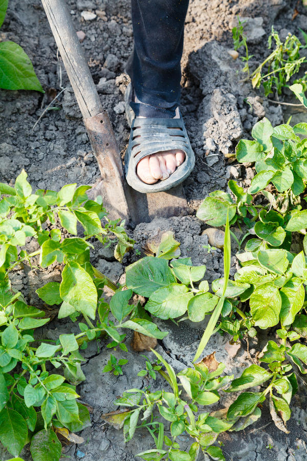 Farmer digging potatoes in garden by shovel. Harvesting - farmer digging potatoes in garden by shovel royalty free stock photography