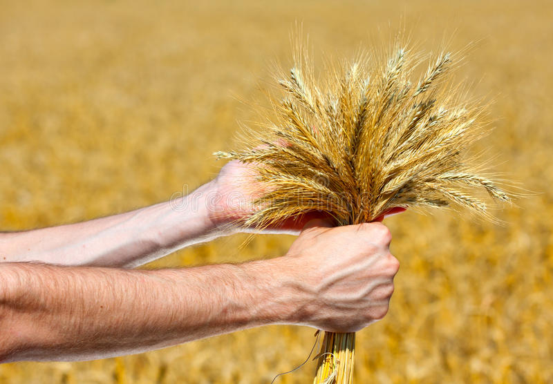 Download Farmer with ears stock image. Image of agricultural, person - 20350397