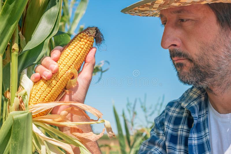 Farmer examining corn on the cob in field royalty free stock photography