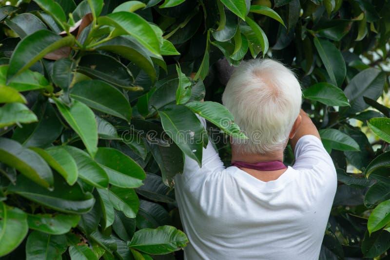 Farmer examining mangoesteen tree royalty free stock image