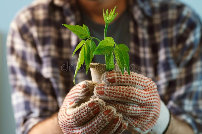 Farmer examining plant growing in peat pot stock images