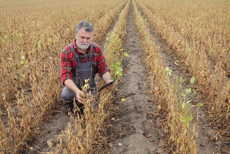 Farmer examining soy bean plants field stock photos