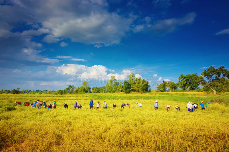 Farmer. S harvesting the rice for filed in Thailand stock images