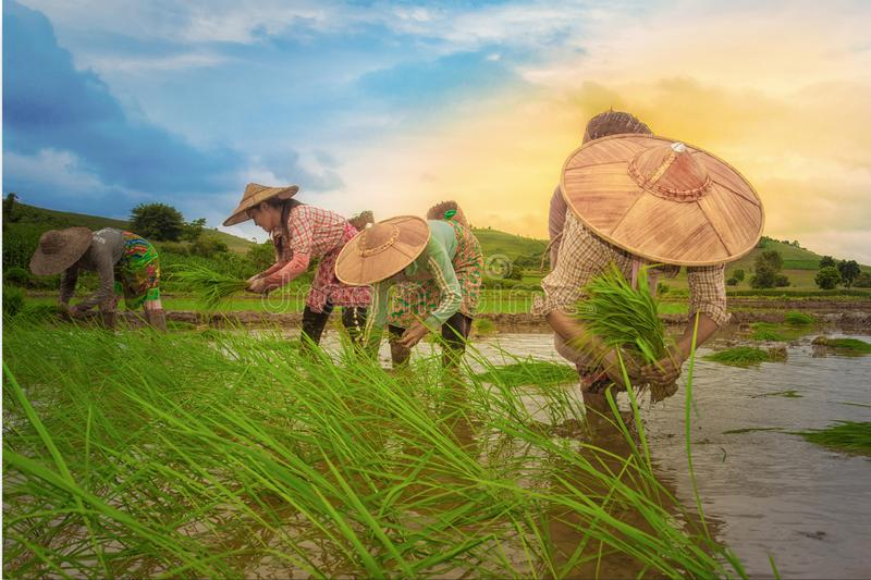 Farmer farming in rice field. Farmers farming rice plants in the rice field: Shan State, Myanmar. On 10 August 2018 royalty free stock images