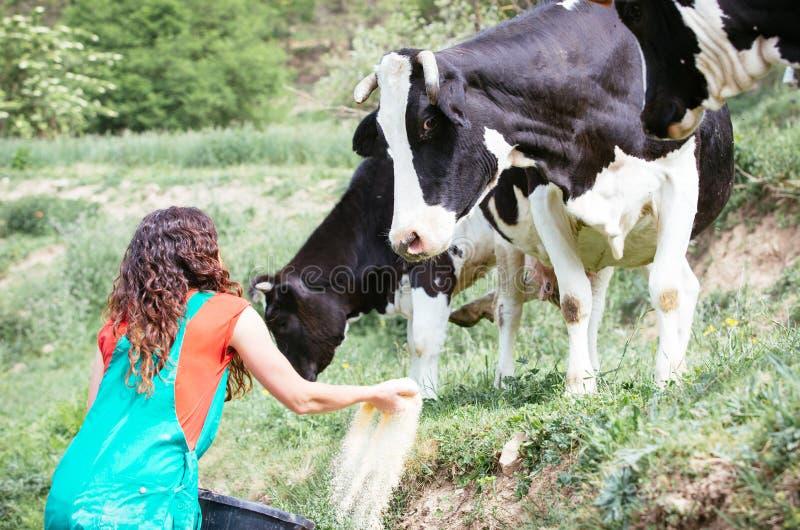 Farmer feeding cows royalty free stock photography