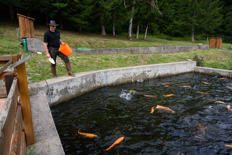 Farmer feeding golden trouts cultured in trout farm reservoir. stock photo