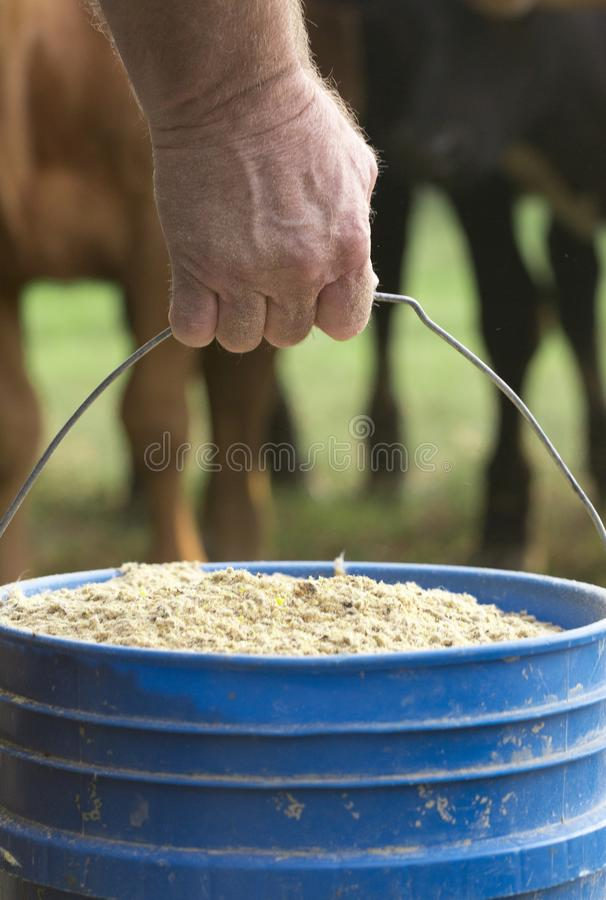 Farmer Feeding His Baby Cows from a Blue Bucket royalty free stock images