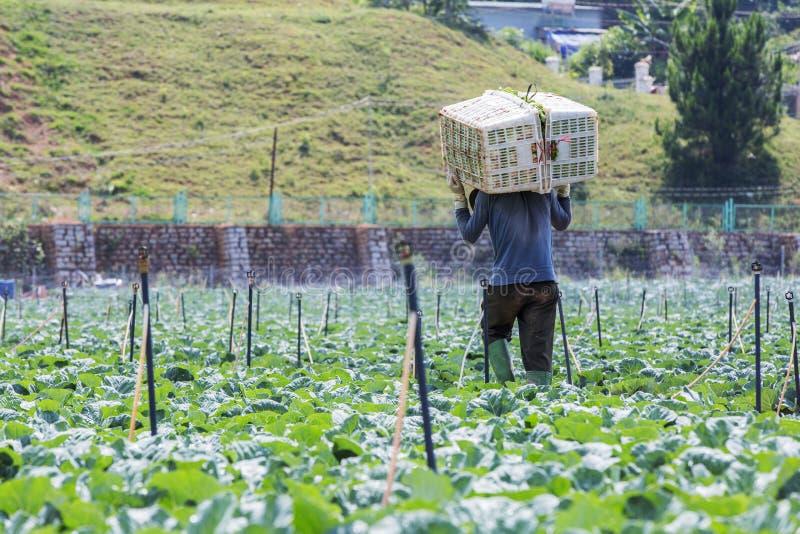 Farmer on field, Da Lat city, Lam province, Vietnam. Farmer is on vegetable field in the sun on the highland area, Da Lat, Lam province, Vietnam. Lam Province royalty free stock photos