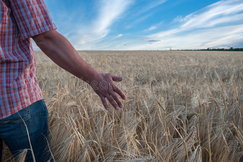 Farmer in field. Looking at wheat harvest, agricultural background stock photos