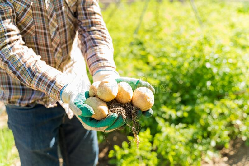 Farmer With Fresh Root Vegetables At Farm stock images