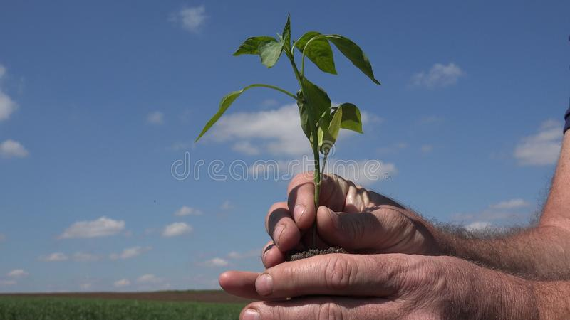 Farmer in Garden Keep in His Hands a Small Plant with Roots royalty free stock photo