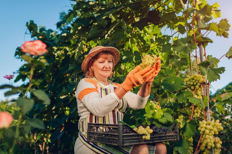 Farmer gathering crop of grapes on ecological farm. Woman cuts green table grapes with pruner royalty free stock photo