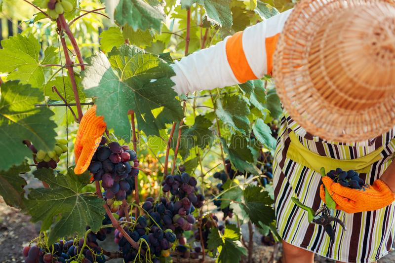 Farmer gathering crop of grapes on ecological farm. Woman cutting blue table grapes with pruner stock image