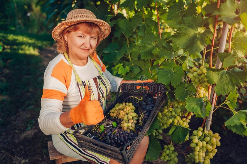 Farmer gathering crop of grapes on ecological farm. Woman picking table grapes, puts it in box showing thumb up stock images
