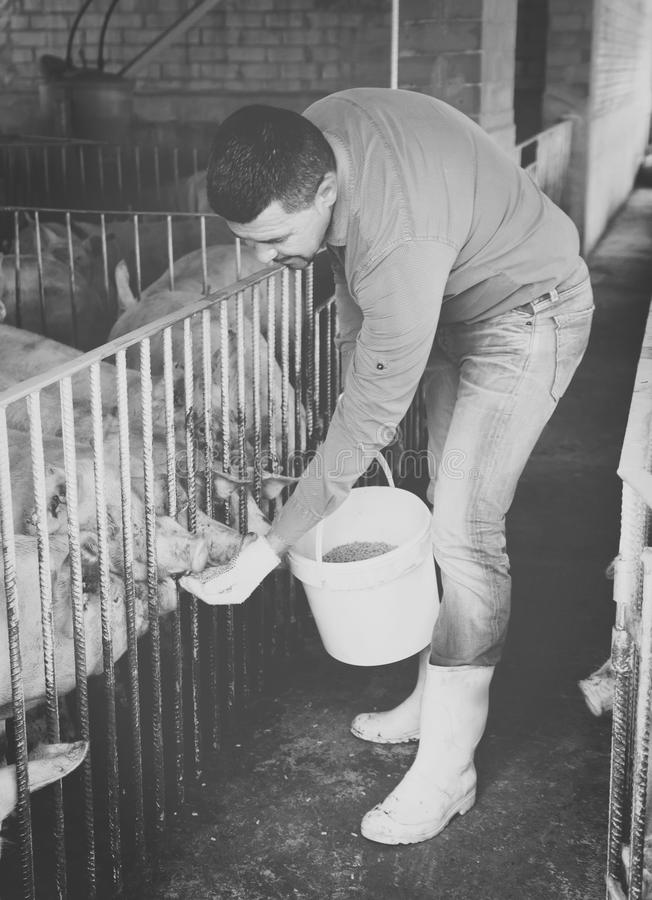 Farmer giving pelleted food to hogs. Profession farmer giving pelleted food to hogs through fence in hangar stock photo