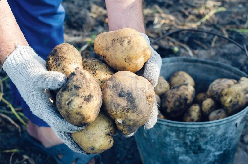 A farmer in gloves holds potato tubers in the garden stock photography