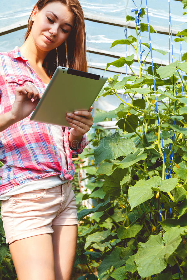 Farmer in greenhouse checking cucumber plants stock photo