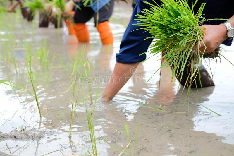 Farmer growing rice in paddy field, people planting seedling royalty free stock photography